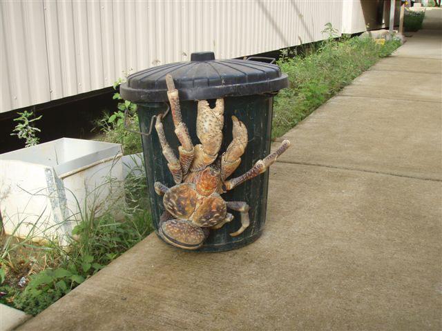 El mayor artrópodo conocido, cangrejo de los cocoteros